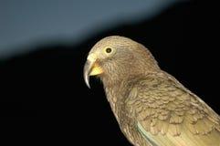 Kea. The alpine parrot, kea, close up Royalty Free Stock Photos