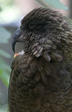 Kea. Or Mountain Parrot (Nestor notabilis), a type of parrot native to New Zealand and only found there Stock Images
