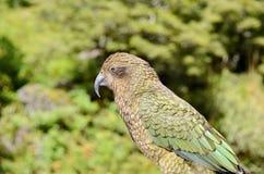 Kea Alpine Parrot Royalty-vrije Stock Foto's