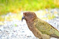 Kea Alpine Parrot Stock Foto