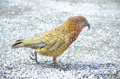 Kea Alpine Parrot Stock Foto's