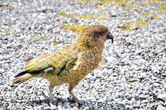 Kea Alpine Parrot Stock Afbeelding