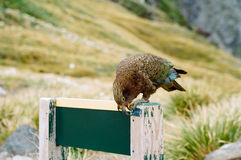 Kea alpine parrot, New Zealand Stock Photo