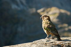 Kea - alpine parrot Royalty Free Stock Photography