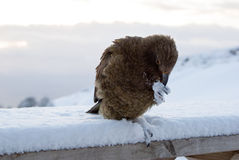 Kea alpine parrot sitting on a bench, Royalty Free Stock Photography