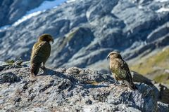 Two Kea on a rock near Cascade Saddle in Mt. Aspiring National P Royalty Free Stock Photo