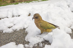 Kea in Arthur's Pass Royalty Free Stock Photos