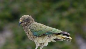 Kea Bird Imágenes de archivo libres de regalías