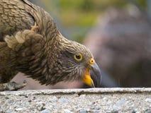 Kea Bird. Close up image of Kea (Nestor Notabilis) in high country South Island, New Zealand Royalty Free Stock Photos