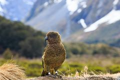 Kea bird in alpine forest south land new zealand. Kea bird in alpine   forest south land new zealand Royalty Free Stock Photo