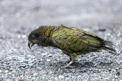 Kea bird Royalty Free Stock Photos