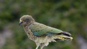 KEA bird. Auther pass New Zealand Royalty Free Stock Images