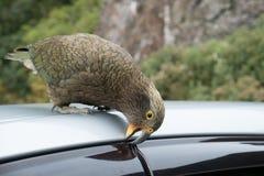 Kea Bird biting tourists car Royalty Free Stock Image