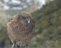 Kea Bird Royalty Free Stock Image