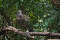 Kea. Bird with copy space Royalty Free Stock Photos