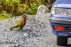 Kea bird in the Milford Road, New Zealand. Kea bird watching a car in the Milford Road, one of the most beautiful scenic roads in New Zealand Royalty Free Stock Photos