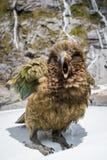 Kea bird in New Zealand. Kea bird with mountain background in New Zealand Royalty Free Stock Photography