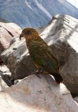 Kea bird parrot green. Arthur's Pass New Zealand Stock Photography