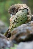 Kea bird Royalty Free Stock Photography