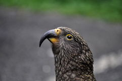 Kea bird on road in New Zealand Royalty Free Stock Photos