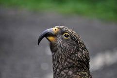 Kea bird on road in New Zealand. Colourful Kea bird on road in New Zealand Royalty Free Stock Photos