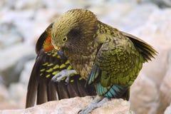 Kea Bird vertiginoso nel parco nazionale Nuova Zelanda di Aoraki Fotografia Stock