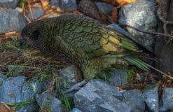 Kea building nest in rocks royalty free stock photo