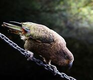 Kea on a chain. Stock Image