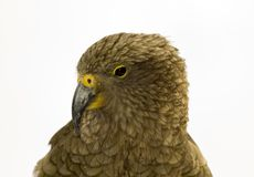 Kea close up Stock Image