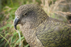 Kea. Close up of a Kea bird from New Zealand Royalty Free Stock Photography
