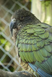 Kea. Close up of a Kea bird from New Zealand Stock Photography