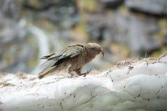 Kea, de inheemse vogel van Nieuw Zeeland Royalty-vrije Stock Afbeelding