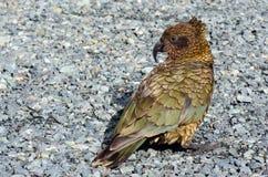 Kea - djurliv Nya Zeeland NZ NZL royaltyfria bilder