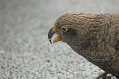 Kea eating crumbs Stock Photography