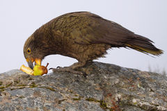 Kea Eating Pear Royalty Free Stock Photography