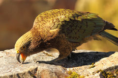 Kea Feeding Royalty Free Stock Images