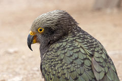 Kea from mountain in New Zeland Royalty Free Stock Image