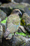 Kea mountain parrot native to New Zealand Royalty Free Stock Image