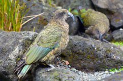Kea mountain parrot native to New Zealand Stock Image