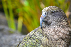 Kea mountain parrot native to New Zealand Stock Photos