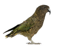 Kea, Nestor notabilis Royalty Free Stock Photo