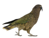 Kea, Nestor notabilis Royalty Free Stock Images