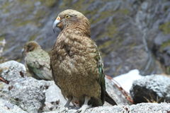 Kea (Nestor notabilis) Stock Photography