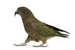 Kea, Nestor notabilis, ein Papagei, stehend Stockbilder