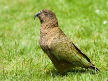 Kea Stock Images