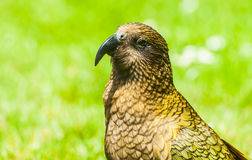 Kea Stock Photos