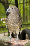 Kea Royalty Free Stock Image