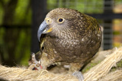 Kea Stock Photography