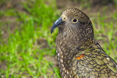 Kea Royalty Free Stock Photo