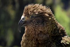 Kea (Nestor notabilis) in New Zealand Stock Photo